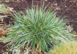 garden blue fescue ornamental grasses outdoor ornamental
