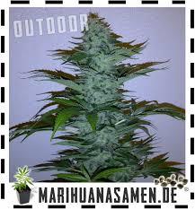 cannabis im garten cannabis im garten anbauen