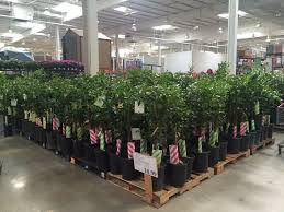 lots of citrus trees at costco yelp