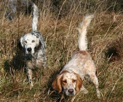 types of setter dog breeds breed profile the llewellin setter gun dog magazine