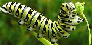 insects how many legs does a caterpillar quora