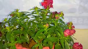 Indore Plants How To Grow Balsam Flower Plant Care And Tips Flower Plant Care