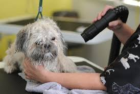 affenpinscher how much do they cost why does it cost dog grooming clifton preston lancashire