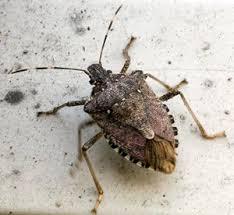 Bed Bugs Smell Stink Bugs About To Overtake Washington Dc On U0027biblical U0027 Level