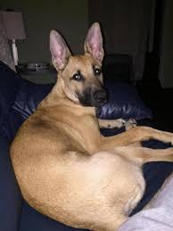 belgian shepherd hair loss 10 month old thinning coat german shepherd dog forums
