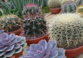 plant where to buy cactus plants unforeseen blue cactus plant