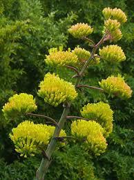 var agave parryi var huachucensis huachuca agave world of succulents