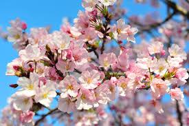 climate change and the washington cherry blossom peak bloom