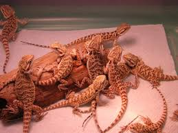 ha ha reptiles bearded dragons babies