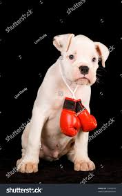 boxer dog in boxing gloves cute white boxer puppy red miniature stock photo 51846679