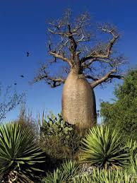 baobab britannica homework help