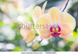 orchid pictures orchid stock images royalty free images vectors