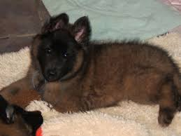 belgian sheepdog breeds tacara belgian tervuren puppies for sale