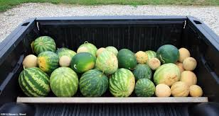 how we grow our melons