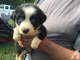 3 week old australian shepherd puppy 3 anna blue eyes australian shepherd puppy 5 weeks old for sale in