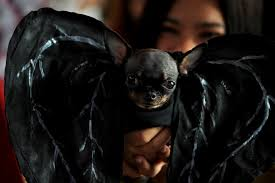 chihuahua dressed as a bat for halloween halloween pets