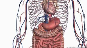 Esophagus And Stomach Anatomy Introduction To The Digestive System Part 2 Oesophagus And