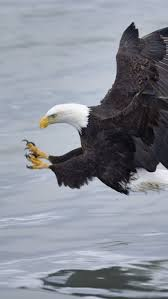 stellers sea eagle wallpapers 1028 best eagles images on pinterest birds of prey beautiful
