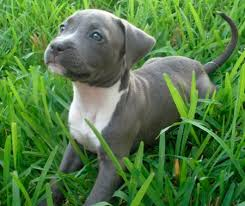 Pitbull Puppy Meme - pitbull puppy in hand google s禪gning sikke noget pinterest