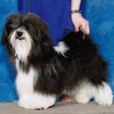 affenpinscher adults for sale havanese purebred puppies for sale from top akc dog breeders