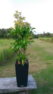 iron tree plant hydroculture plants buy chye heng