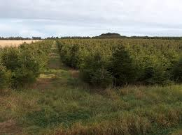 25 norway spruce christmas tree seedlings 3 yrs old size 25 40cm