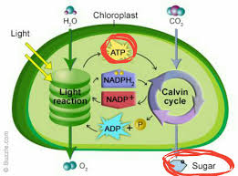 What Happens During The Light Reactions Of Photosynthesis Cellular Respiration Why Is Atp Produced In Photosynthesis Used