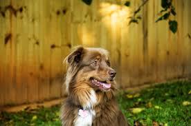 australian shepherd yellow australian shepherd information dog breeds at dogthelove