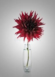 dalia in vaso bello fiore rosso della dalia in vaso fotografia stock immagine
