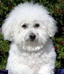 1 month old bichon frise dog behavior problems questions about dog behaviors