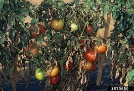 Tomato Plant Wilt Disease - tomato diseases piedmont master gardeners