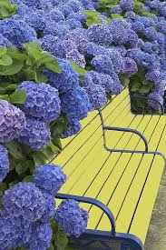 hydrangeas are marvelous all year round for the home