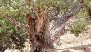 facts about planting cedar trees using lime garden guides