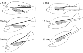 hearing and morphological specializations of the mojarra