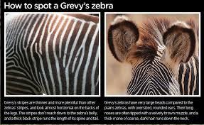 save the grevy u0027s zebra animalanswers co uk everything you