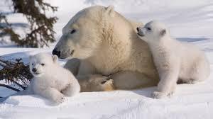 for kids u0026 teachers polar bears international
