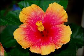 What Is The Meaning Of The Hibiscus Flower - hibiscus flower hawaiian hibiscus flowers pink u0026 red flowers