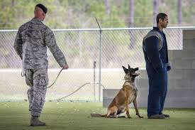 belgian shepherd nz 8 photos that show how a military working dog takes down bad guys