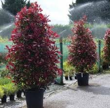 Red Robin Flower Mound - photinia fraseri red robin in spring drzewa pinterest robins