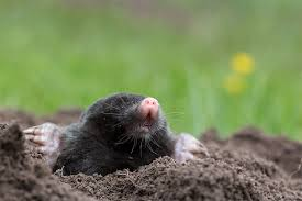 How To Get Rid Of Moles In The Backyard by Get Rid Of Moles Voles And Holes In Your Yard Earl May