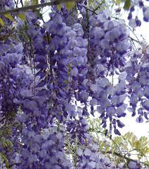 wisteria meaning file glitsina wisteria sinensis jpg wikimedia commons