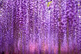 wisteria meaning fuji 藤 wisteria a stunning wonder of japan lemiché