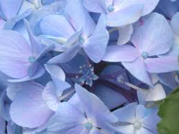 real flowers file the real flowers of hydrangea macrophylla f hortensia jpg