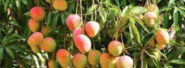 Mango Boom zelf een mangoboom kweken uit een pit naturotheek