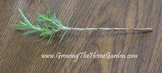 Rosemary Topiary Propagate Rosemary In Water The Herbs Growing The Home Garden
