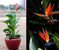 free shipping flowers free shipping flowers pots planters all sorts of color strelitzia
