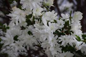 White Flowers Azalea Bloom Spring Flowers Free Nature Pictures