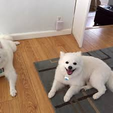 american eskimo dog washington state next tail mobile pet grooming 90 photos u0026 37 reviews pet