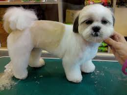 how to cut a shichon s hair 15 best hava shu images on pinterest cubs puppies and puppys