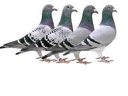 cuisine des pigeons voyageurs le musée du pigeon voyageur